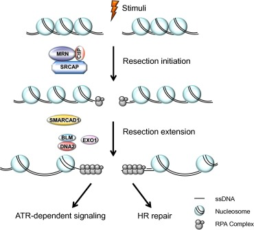 DNA-end resection occurs via a two-step process—resection initiation and ...