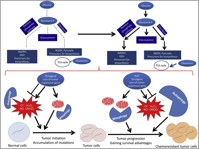 Redox regulation, metabolic programming, autophagy, and mitophagy in cancer ...